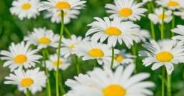 Лайка: известно билково лекарство от миналото със светло бъдеще