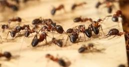 Мравките се самолекуват като променят хранителния си режим - вие също можете!