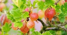 Цариградското грозде съдържа 20 пъти повече витамин C от портокаловия сок