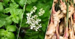 Лятна детоксикация на организма с билки – девесил, босилек, джинджифил