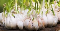 Покълналият чесън убива 14 вида ракови клетки