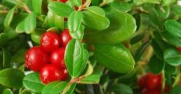 Вълшебствата на Американската червена боровинка