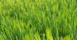 Висок холестерол? Обърнете се към ечемичената трева