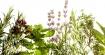 Какво лекуват растенията или аптека в саксия